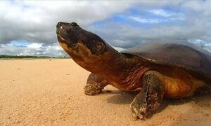 Cheia no Rio Araguaia prejudica ninhos de tartarugas