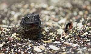Acompanhe a incrível fuga do filhote de iguana de um bando de cobras