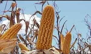 Mercado muda e preço do milho sobe