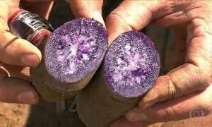 Batatas coloridas encantam produtores e mantêm produtividade