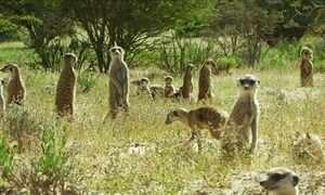 Bichos Espiões flagram espécies de animais que trabalham em sintonia