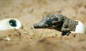 Destemida fêmea téu-téu choca ovos ao lado de um ninho de crocodilos