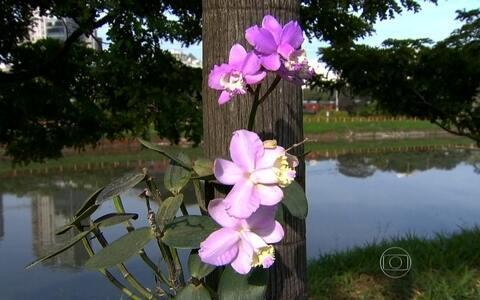 Paulistanos cultivam orquídeas na Marginal Pinheiros (Reprodução/TV Globo)