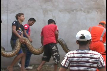 Five meter giant anaconda was captured after attacking a city worker who was cleansing a creak in the north-eastern Brazilian city if Imperatriz, in Maranhao state, on Friday 23 March 2012