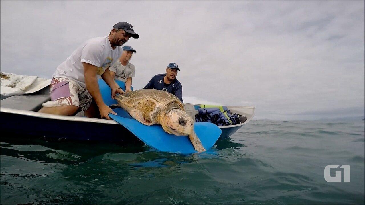 Resultado de imagem para Tartaruga de mais de 100 quilos é devolvida ao mar em Ubatuba;