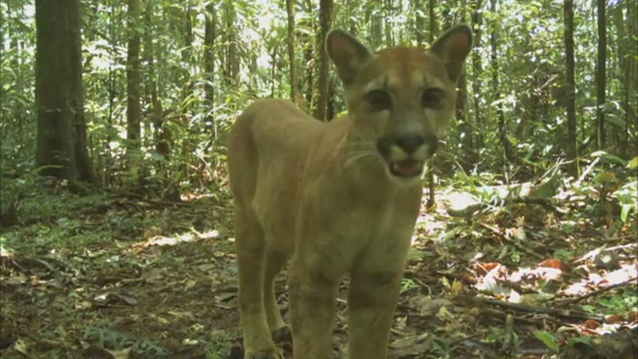 Pumas são registradas caminhando na Amazônia