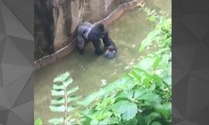 Gorila é morto após segurar criança que caiu em fosso em zoológico nos EUA