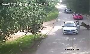Ataque de tigres deixa um morto e dois feridos na China