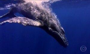 Cresce a população de baleias na costa brasileira