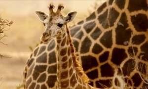 Veja luta de um homem para salvar as girafas, animais em perigo de extinção