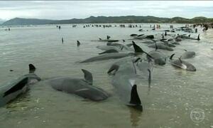 Mais de 400 baleias encalham em praia na Nova Zelândia