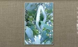 Quiabo-de-metro é planta pouco conhecida e os frutos são comentíveis