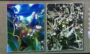 Agrônomo explica o que é a azeitona-do-ceilão