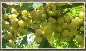 Frutos da groselha-asiática também podem ser consumidos