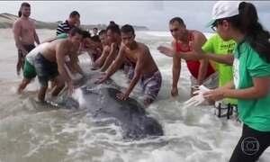 Cientistas tentam descobrir por que 41 baleias jubarte morreram encalhadas no litoral brasileiro
