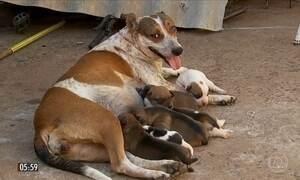 Cadela salva oito filhotes de incêndio que atingiu casa em Marília (SP)
