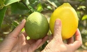 Ácaro pode deixar o limão siciliano esbranquiçado