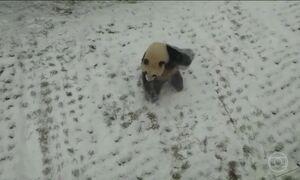 Neve na china provoca transtornos, mas deixa um panda feliz