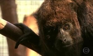 Prefeitura blinda macacos contra a febre amarela