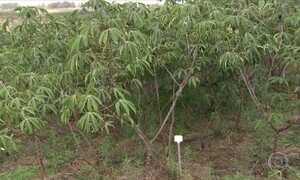 O jeito certo de plantar mandioca