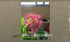 Conheça o lírio-sagu-salmão