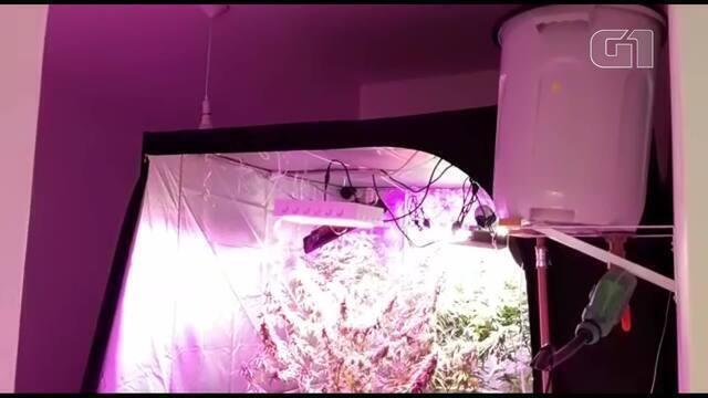 Polícia encontra plantação de maconha em apartamento de ...