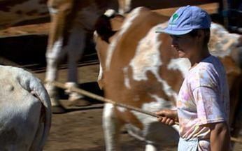 Vida de Gado - Parte 2 - Na Serra da Canastra (MG), uma mulher cuida sozinha de 50 vacas