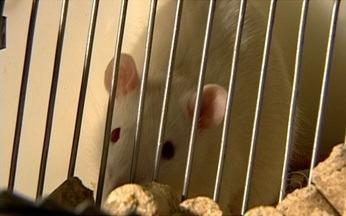 Pesquisa dá esperança de cura para quem perdeu os movimentos do corpo - Na UFRJ, pesquisadores estão conseguindo reduzir a gravidade de lesões na medula. O estudo é em cima de uma proteína que está no corpo do próprio homem: a laminina. A pesquisa já conseguiu bons resultados em ratos de laboratório.