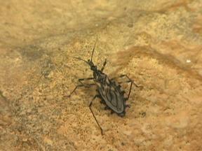 Bióloga mostra detalhes do barbeiro - Vetor da doença de chagas, o inseto é encontrado bastante na Região Nordeste, mas estudos mostram que o índice de infecção pelo parasita não é alto.