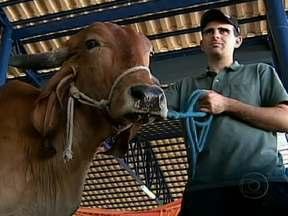 Uberaba atrai investidores de gado de aproximadamente 30 países - Na Expozebu, em MG, além do volume de negócios impressionante, chamou a atenção também o tratamento dispensado aos animais mais valiosos. Um pecuarista disse que o melhoramento genético do gado traz uma boa qualidade para a carne a ser consumida.