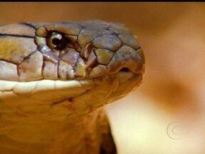 Domingão Aventura: João Paulo Krajeviski apresenta as cobras que existem na Índia - Conheça o ritual em que os indianos veneram as najas