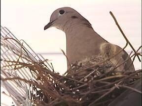 Alunos dividem a sala com uma pombinha e seus filhotes - Desde que voltaram de férias, os alunos ganharam a companhia da ave.