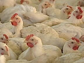 Preço do frango não para de subir em supermercados - A alta nos preços da soja e do milho, que fazem parte da ração dos animais, é o maior culpado para a alteração dos preços. Com a seca nos Estados Unidos, os agricultores de grãos preferem exportar a produção visando um lucro maior.