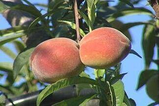 Começa a colheita de pêssego no interior paulista - A colheita da safra em Jarinu, SP, começa mais cedo que em outras regiões do Brasil. Os produtores investem em variedades mais precoces e conseguem vender a fruta no momento em que há pouca oferta de pêssego no mercado