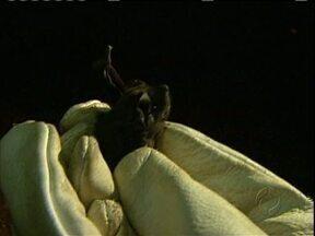 Pesquisa mostra que morcegos ajudam a natureza - Eles chegam a comer 600 insetos por hora.