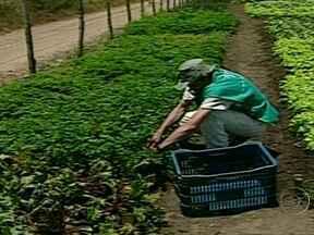 Pequenos agricultores da Paraíba aprovam resultados do sistema agroecológico - No sistema, os produtos estão livres de agrotóxicos e práticas adequadas de manejo. Defensivos naturais e adubos de esterco de gado são usados no cultivo dos produtos.