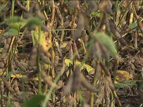 Agricultores dos Estados Unidos sofrem com seca no país - Muitos dos produtores que plantaram milho estão tendo problemas, porque as plantações não vingaram. Mas com a soja, a chuva trazida pela passagem do furacão Isaac foi bem vinda, fazendo com que a lavoura se desenvolvesse bem em algumas regiões.