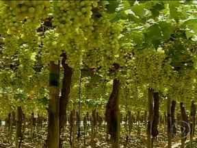 Agricultores do Vale do São Francisco preparam safra de manga e uva para exportação - Agricultores do Vale do São Francisco estão preparando a safra de manga e de uva para exportação. A hora da colheita é vital para garantir o sucesso nas vendas.