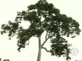 Conheça a árvore brasileira castanheira - A árvore pode viver mais de cem anos e cresce em meio à mata fechada. Além disso, a madeira é resistente e protegida por lei. Mas os frutos ajudam a garantir renda para milhares de famílias da Amazônia.
