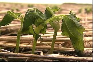 Frio prejudica safra do feijão no Paraná - Plantio ainda nem terminou, mas prejuízos já são evidentes.