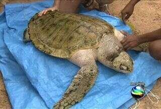 Projeto Tamar trabalha com a preservação das tartarugas marinhas - Tartarugas marinhas existem há cerca de 220 milhões de anos, e sobreviveram a inúmeras mudanças ocorridas no planeta. Mas a preservação da espécie precisa de muito cuidado e requer o esforço de muita gente