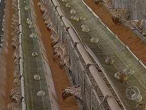 Aumento na procura por ovos de codorna dá bom retorno financeiro aos produtores de SP - O aumento na procura por ovos de codorna está dando um bom retorno financeiro para os criadores de São Paulo. Principalmente para quem consegue baratear o frete, juntando a produção das codornas com a das galinhas.