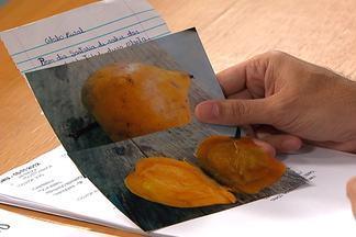 Agrônomo do Globo Rural identifica fruto desconhecido - Bacuri tem origem amazônica e é parente do mangostão.