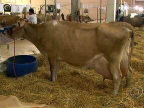 Feira de produção leiteira em São Paulo reúne criadores de várias partes do Brasil - Na Feileite, os criadores podem encontrar exemplares das principais raças leiteiras do país. Dentre os destaques estão os animais da raça girolando, resultado do cruzamento de gir com o gado holandês.