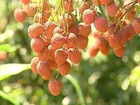 Assista ao 3º bloco do Caminhos do Campo do dia 02 de dezembro - Conheça a colheita de uma frutinha exótica que veio da China, a lichia; e aprenda a fazer um doce com ela