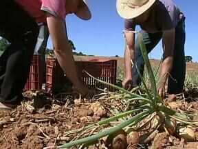 Confira a colheita lucrativa de cebola na região metropolitana de Curitiba - Apesar da redução de área o produtor registrou aumento de produtividade