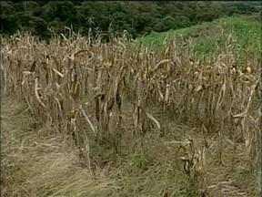 Prejuízos com a estiagem são tema de debate entre produtores no RS - Entre fevereiro de 2011 e os três primeiros meses deste ano, RS passou pela maior seca dos últimos 60 anos.
