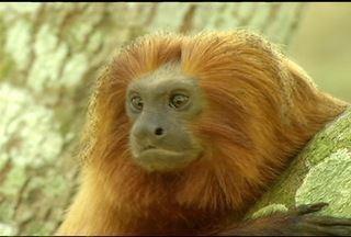 Associação Mico-Leão-Dourado, em Silva Jardim, RJ, completa 20 anos - Reserva de proteção aos animais é a única no mundo.Com o auxílio da iniciativa, espécie está próximo a se livrar da extinção.