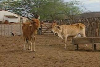 Animais morrem sem água e alimentação no Sertão da Paraíba - Criadores sofrem ao ver todo o rebanho morrer aos poucos sem ter o que fazer.