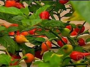 Condições climáticas favorecem cultura da pimenta em Minas Gerais - O calor e as chuvas desta época do ano favorecem e impulsionam a produção de pimenta, em Paiva. A cultura é uma importante fonte de renda para a economia da cidade.